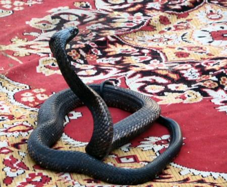 Serpiente en la Plaza Jemaa El Fna de Marrakech - Marruecos