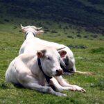 Vacas pirenáicas en el monte Azpegui de Irati en los Pirineos de Navarra