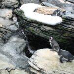 Pinguinos en el gran acuario del Oceanario de Lisboa