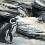 Pinguinos en el Oceanario de Lisboa
