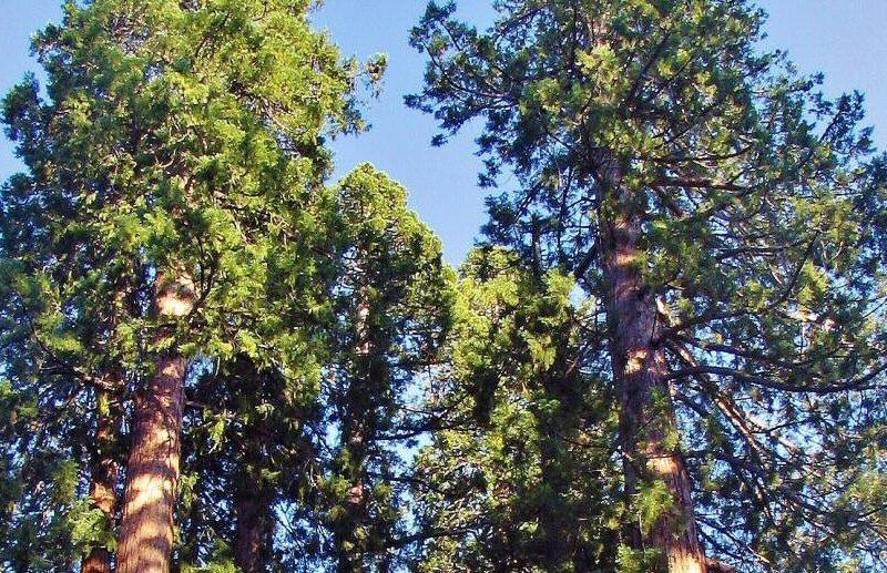 Secuoyas gigantes en Mariposa Grove en Yosemite en California