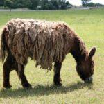 Burro con pelo largo, característico de la isla de Ré al oeste de Francia