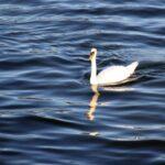 Cisnes en el Lago de Lucerna en Suiza