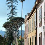 Arbol drago en un parque del centro histórico de La Laguna