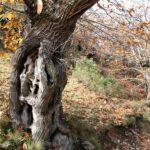Castaños centenarios en Las Médulas en León