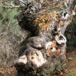 Tronco de un castaño en Las Médulas en León