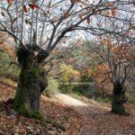 Bosque de castaños en Las Médulas en León