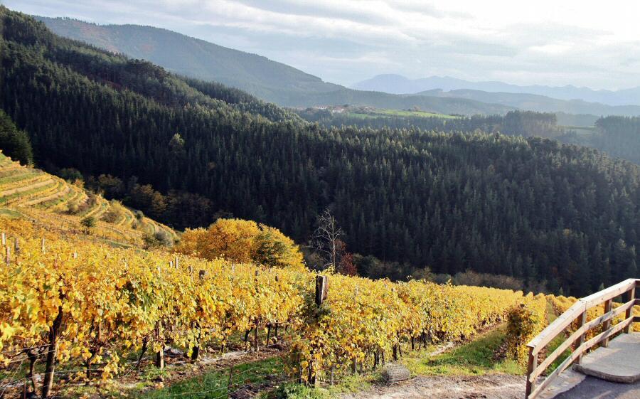 Viñedos de Bodegas Berroja en Urdaibai en Euskadi