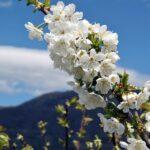 Cerezos en flor en el Valle del Jerte en Extremadura