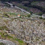 Valle del Jerte durante la floración de los cerezos en Extremadura