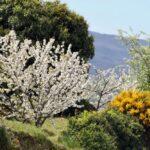 Valle del Jerte en Extremadura durante la floración de los cerezos