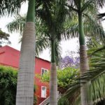 Palmeras reales en la Finca Las Longueras en Gran Canaria