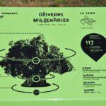 Dimensiones de los olivos milenarios