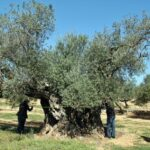 Midiendo el tronco de un olivo milenario