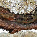 Tronco de olivo milenario en el museo de La Jana en Castellón