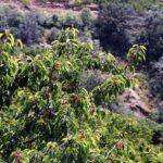 Cerezos llenos de cerezas en el Valle del Jerte