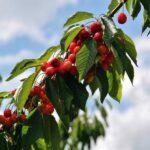 Cerezas aún en los árboles del Valle del Jerte
