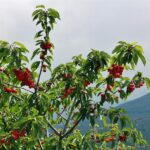 Paisaje de cerezos con cerezas en el Valle del Jerte
