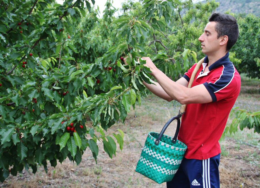 Victor recolectando cerezas en el Valle del Jerte