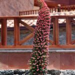 Tajinaste rojo en el parque de Tejeda en la isla de Gran Canaria
