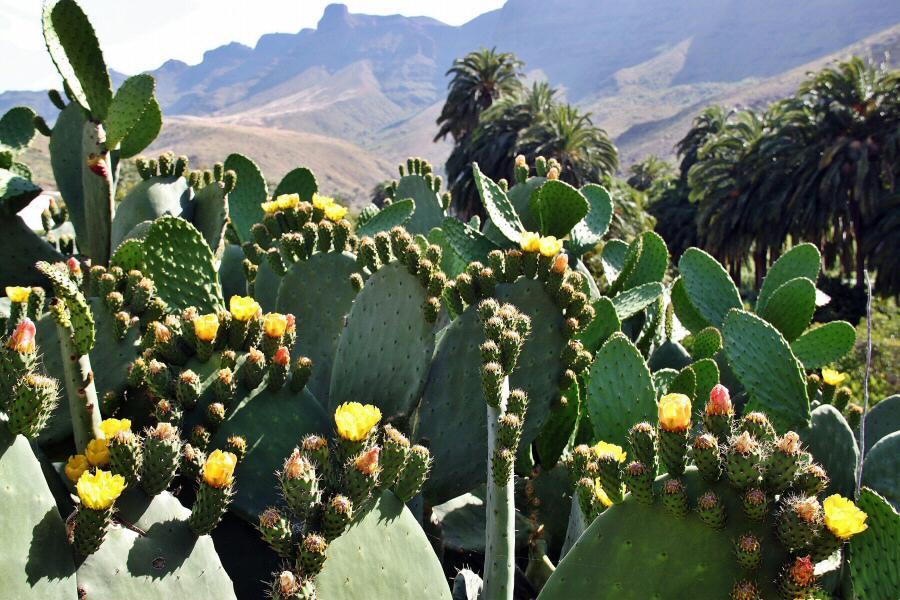 Chumberas en el oasis de Arteara en Gran Canaria