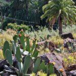 Chumberas en palmeral del oasis de Arteara en Gran Canaria
