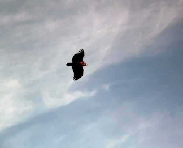 Avistamiento de aves rapaces desde el castillo de Monfragüe en
