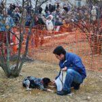 Concurso de búsqueda de trufas en la Mostra de la Trufa Negra del Maestrazgo