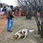 Concurso de perros truferos en Mostra de la Trufa Negra de Ports-Maestrat en Castellón