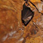 Murciélago en la mina de de hierro del parque minero del Maestrat