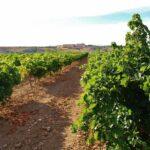 Viñedos de Bodega Finca La Estacada en Tarancón en Cuenca