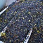 Uvas recolectadas en Bodega Finca La Estacada de Tarancón en Cuenca