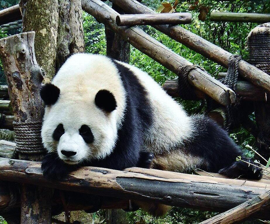 Centro de Conservación de osos panda gigantes en Chengdu