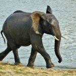 Cria de elefante en el safari en el parque Kruger en Sudáfrica