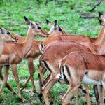 Impalas en el safari en el parque Kruger en Sudáfrica