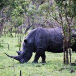 Rinocerontes en el safari en el parque Kruger en Sudáfrica
