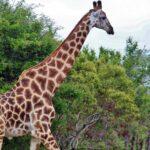 Jirafas en el safari en el parque Kruger en Sudáfrica