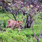 Leona en el safari en el parque Kruger en Sudáfrica