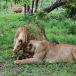 Leonas en el safari en el parque Kruger en Sudáfrica