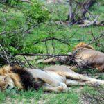 Leones en el safari del parque Kruger en Sudáfrica