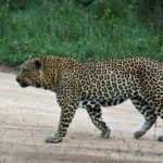 Leopardo en el safari en el parque Kruger en Sudáfrica