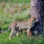 Guepardos en el safari en el parque Kruger en Sudáfrica