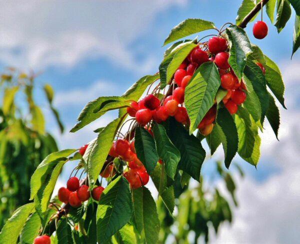 Cerezos con fruto en la ruta de senderismo de la Garganta de las Nogaledas