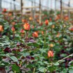 Plantación de rosas en la Hacienda Compañía de Jesús cerca de Quito