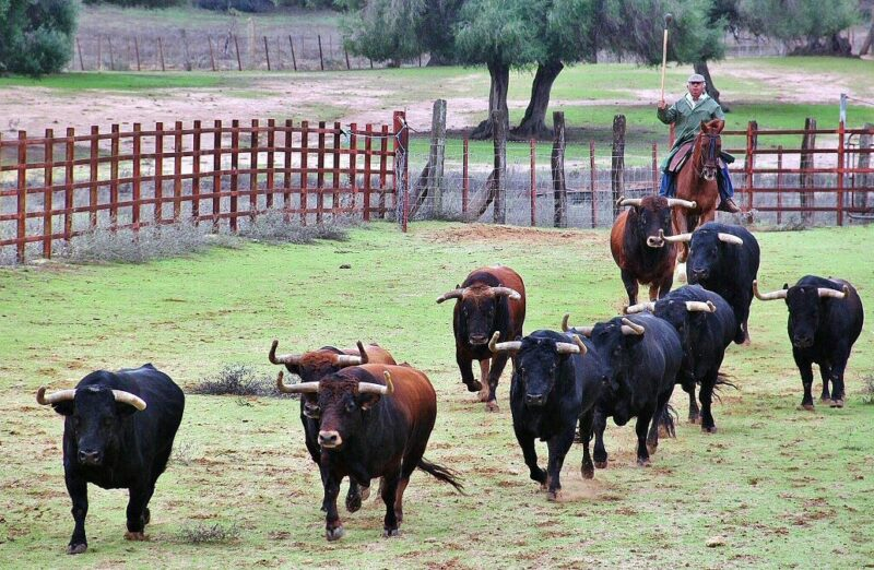 Visita de la ganadería de toros bravos Jandilla en Cádiz