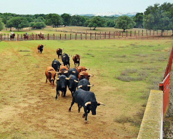 Ganadería de toros bravos Jandilla en Vejer de la Frontera en Cádiz