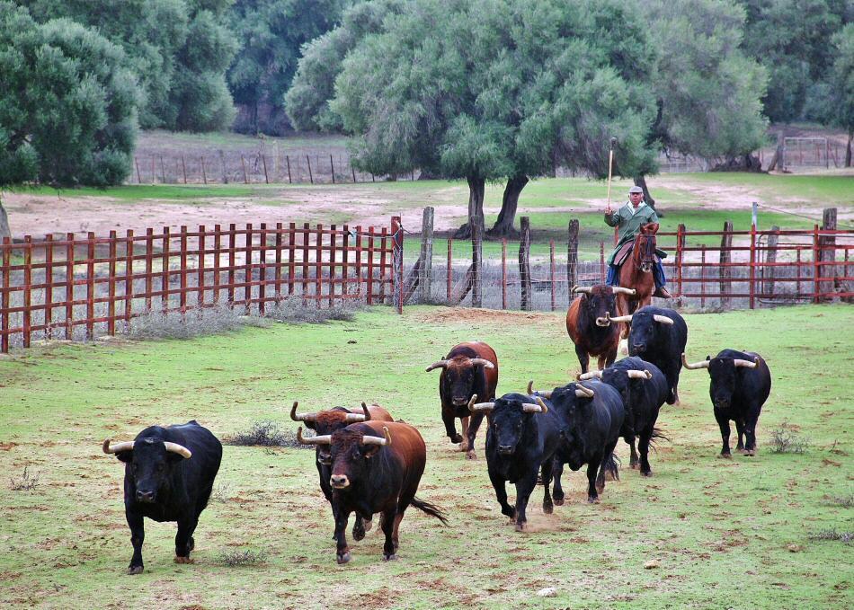 Ganadería de toros bravos Jandilla en Cádiz
