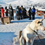 Perros Husky de la actividad del trineo de perros en Laponia Noruega