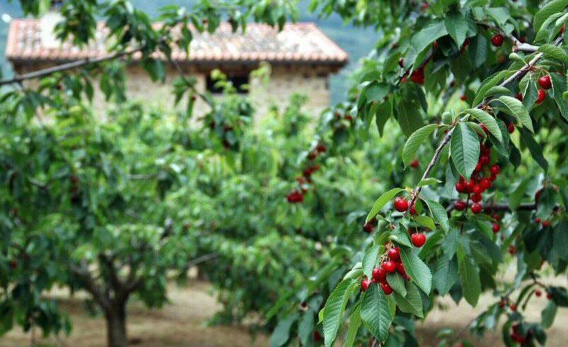 Cerezas en el Valle del Jerte en Extremadura