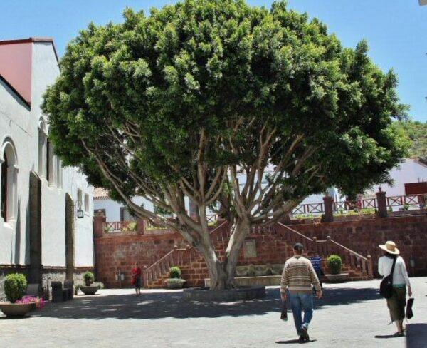 Gran árbol Laurel de Indias en Tejeda en la isla de Gran Canaria